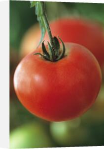Lycopersicon esculentum 'Oregon Spring', Tomato by Jonathan Buckley