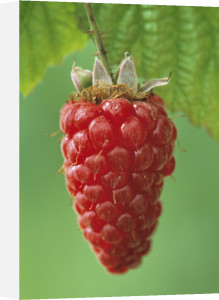 Ribes, Tayberry by Jonathan Buckley