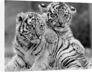 Young Tigers by Mirrorpix