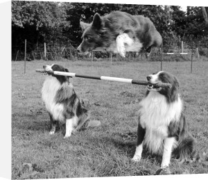 Whizz the border collie leaps over the bar by Mirrorpix