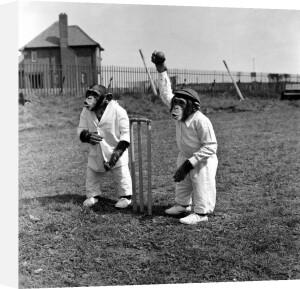 Monkeys playing Cricket by Mirrorpix