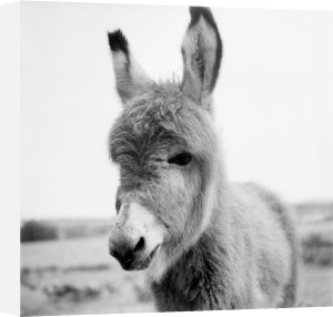 Jack the Donkey by Mirrorpix
