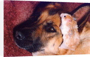 Best buddies, Gizmo the hamster with Sheba by Mirrorpix