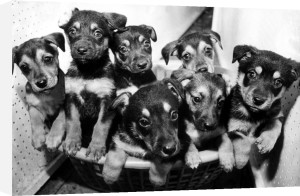 A litter of Alsatian puppies by Mirrorpix