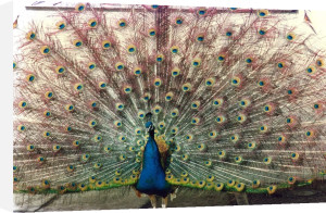 A Peacock by Mirrorpix