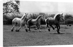 Shire Horses by Mirrorpix