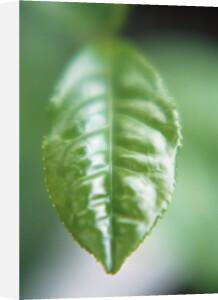 Camellia sinensis, Tea plant by Jo Hansford