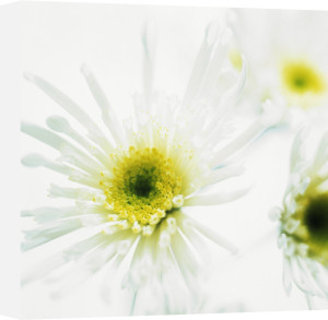 Chrysanthemum, Chrysanthemum by Lisa Barber