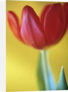 Tulipa, Tulip by Mike Bentley