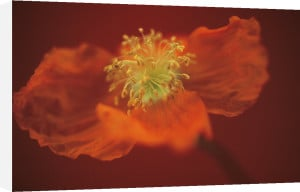 Papaver, Poppy by Mike Bentley