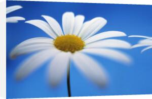 Leucanthemum vulgare, Daisy - Ox-eye daisy by Mike Bentley