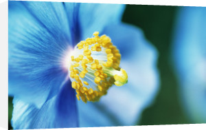 Meconopsis grandis, Himalayan blue poppy by Mike Bentley