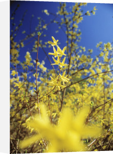 Forsythia, Forsythia by Mike Bentley