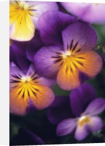 Viola tricolor, Heartsease by Mike Bentley