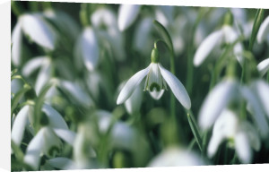 Galanthus nivalis, Snowdrop by Mike Bentley