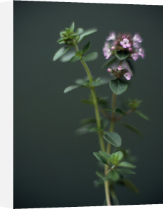 Thymus vulgaris, Thyme by Martin O'Neill