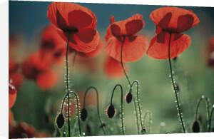 Papaver rhoeas, Poppy by Michael Peuckert