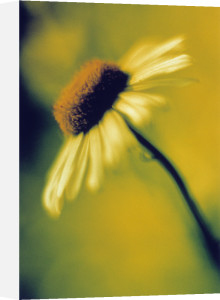 Bellis, Daisy by Paul Debois