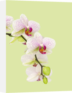 Phalaenopsis, Orchid - Moth orchid by Paul Debois