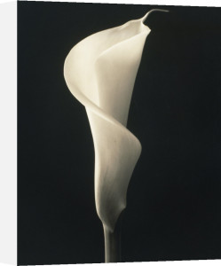 Zantedeschia, Arum lily, Calla lily by Richard Freestone
