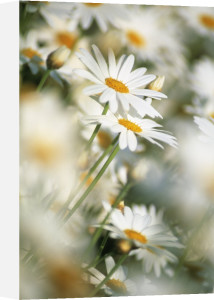 Bellis, Daisy by Rob Matheson