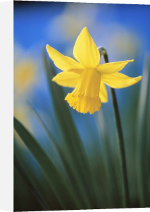 Narcissus, Daffodil by Rob Matheson