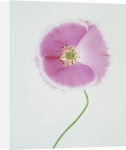 Papaver rhoeas Shirley series, Poppy - Shirley poppy by Tim Smith