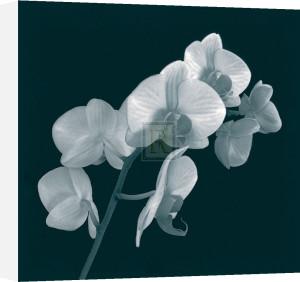 Orchid Illusion I by Sasha Blake