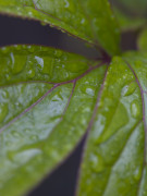 Close up of Peony leaves covered in dew by Assaf Frank