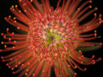 Red pincushion flower, close-up by Assaf Frank