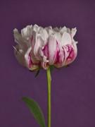Peony flower, close-up by Assaf Frank