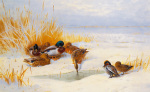 Mallard and Teal by Archibald Thorburn