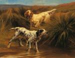 English Setters in Marshland