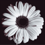 Gerbera Art Print (Small) by Bill Philip