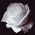 Rose by Bill Philip