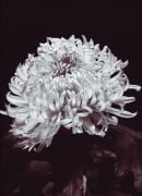 Chrysantemum by Bill Philip