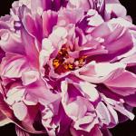 Pink Peony by Jennifer Harmes
