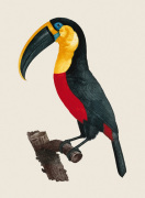 Le Grand Toucan by Jacques Barraband