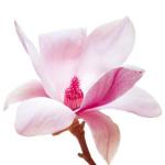 Magnolia I by Katja Marzahn