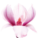Magnolia II by Katja Marzahn