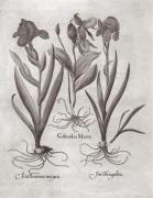 Botanical VIII by Basilius Besler