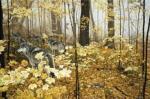 Autumn Maples by Ron Parker