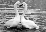 Two Swans by Walter Sittig