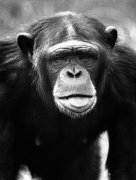 Chimp searching for lice by Walter Sittig