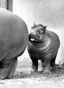 Baby hippo by Walter Sittig