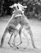 Two kangaroos hugging by Walter Sittig