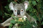 Koala by Roland Marske