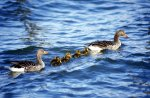Ducks with ducklings by Gerd Pfeiffer