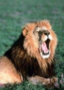 Lion yawning by Koch & Wolf