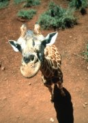Inquisitive giraffe by Koch & Wolf